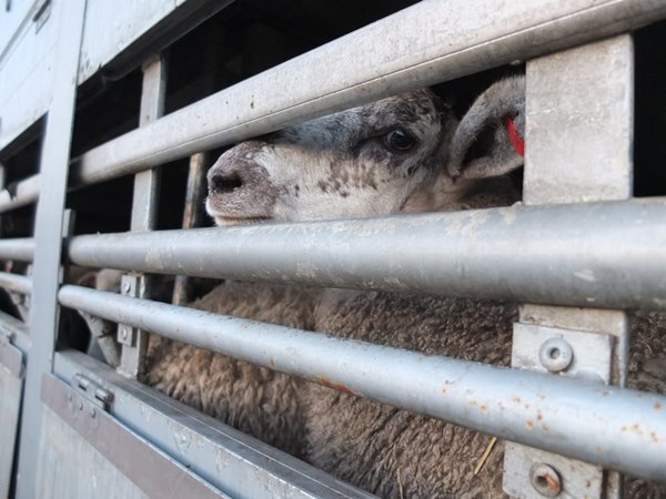 Dalton was informed by animal campaign groups such as Compassion in World Farming, which raises awareness about the horrors of live transport and more, Picture: CIWF.