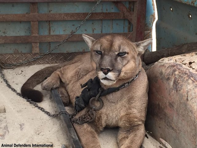 This elderly mountain lion who spent 20 years  chained to the back of a truck  before he was rescued. Picture: Animal Defenders.