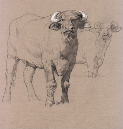 Drawing for Woodstock Water Buffalo.