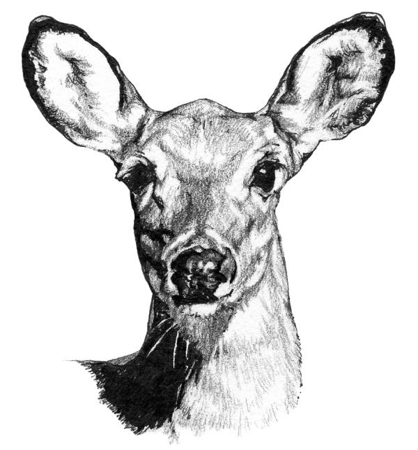 Pencil-DeerHeaddrawingFINALgs.jpg