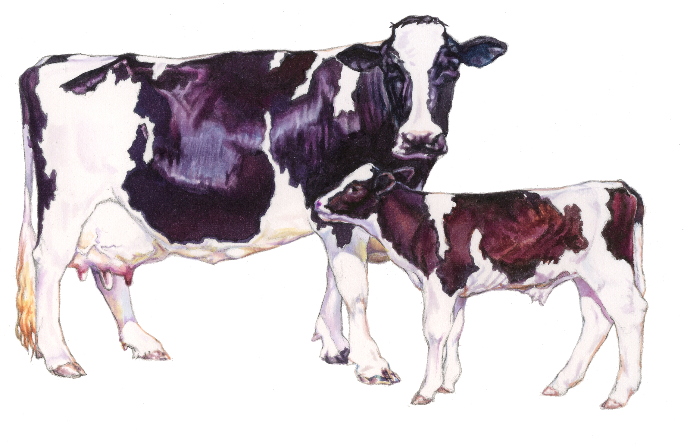 Holstein Cow and Calf for dairy feed label