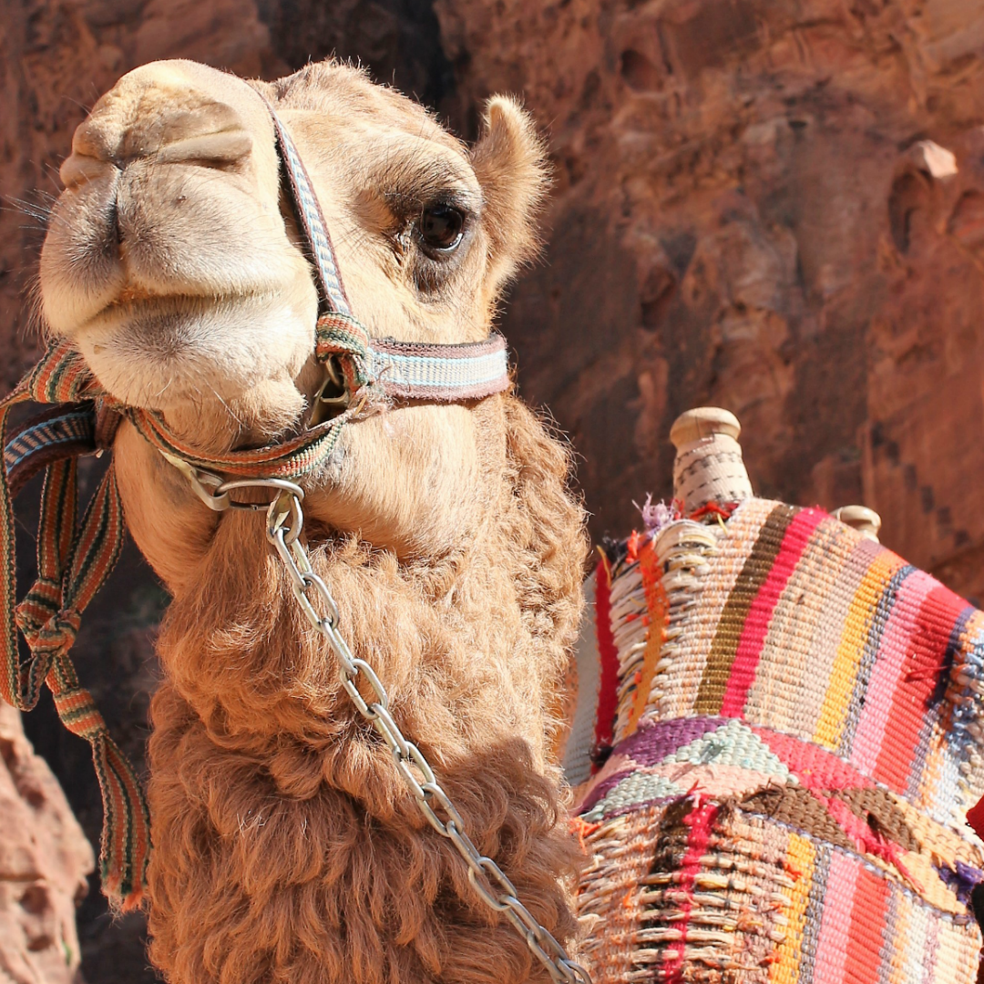 Camel of the Middle East_Harberdashery.com