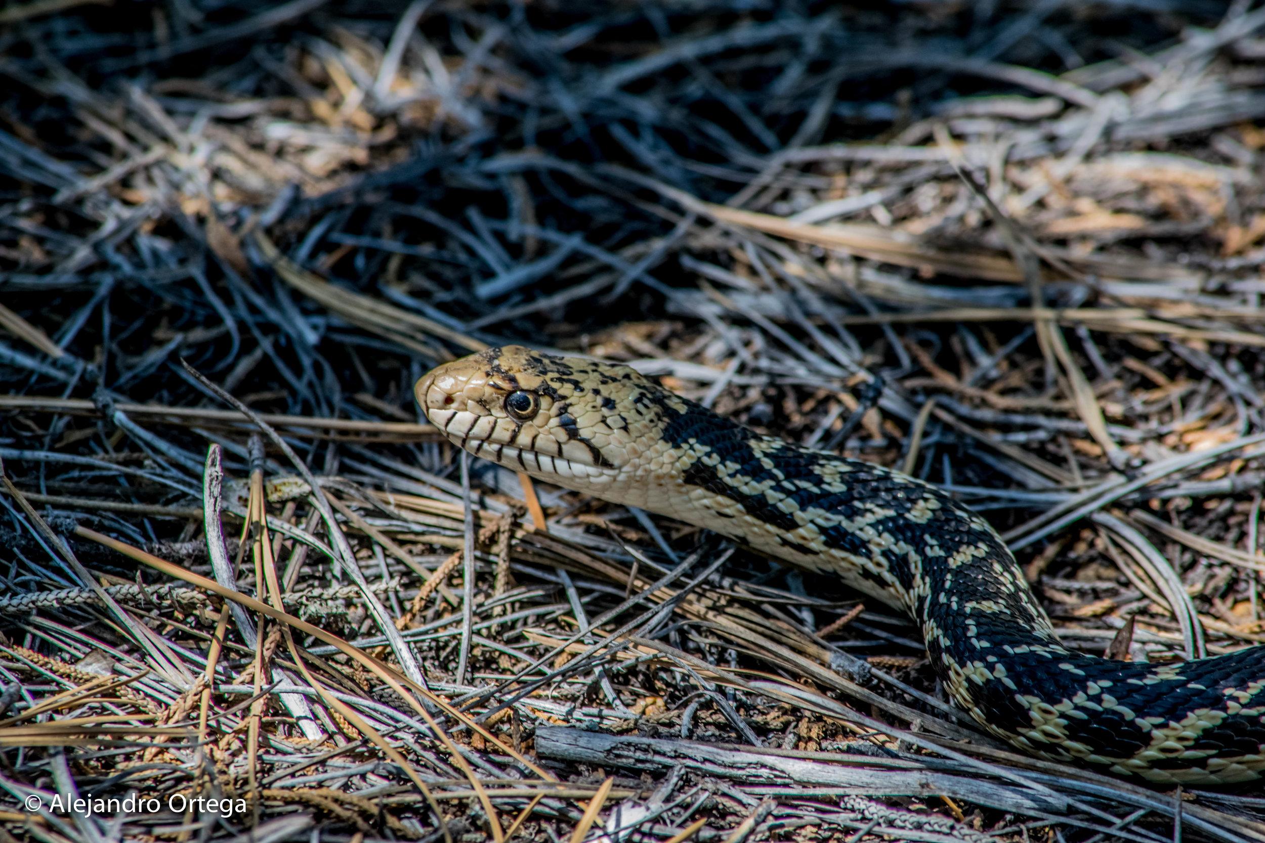 Bullsnake (Pituophis catenifer sayi )