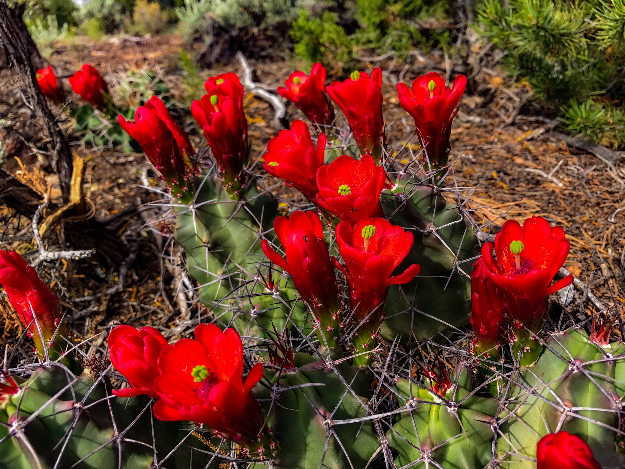 King Cup Cactus on blooming on the Fisher Trail