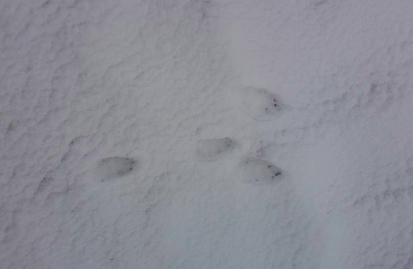 Mountain Hare tracks