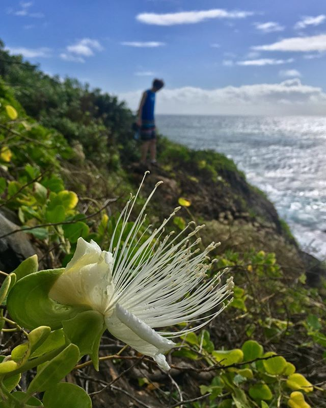 The new year started out with a morning hike to Maha`ulepu with Palani. There were night blooming maiapilo with blossoms still open...and whales breaching! A great way to usher in 2019! 🥳