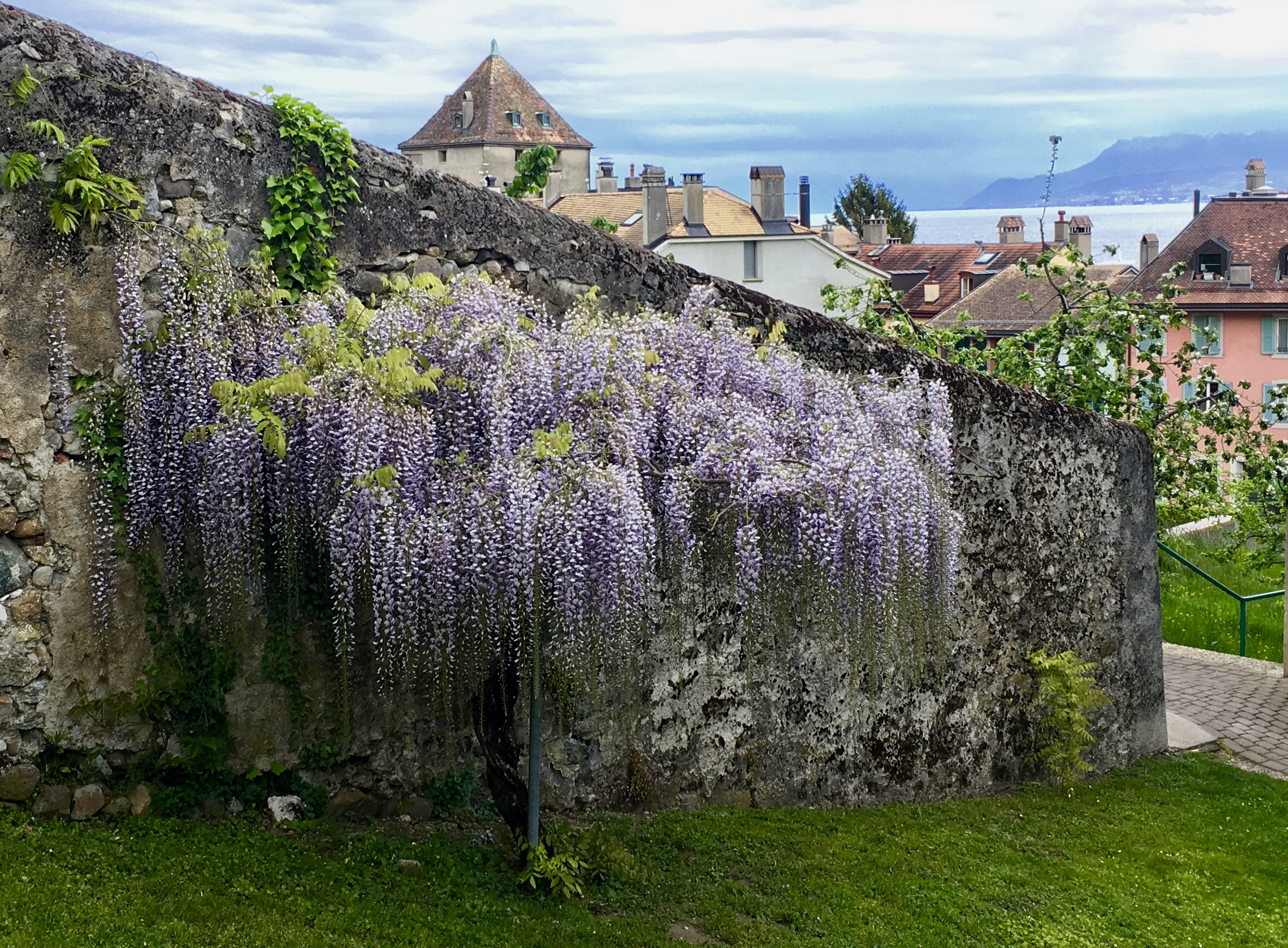 A stunning wisteria in the charming village of Nyon, Switzerland, on the northern shore of Lake Geneva.