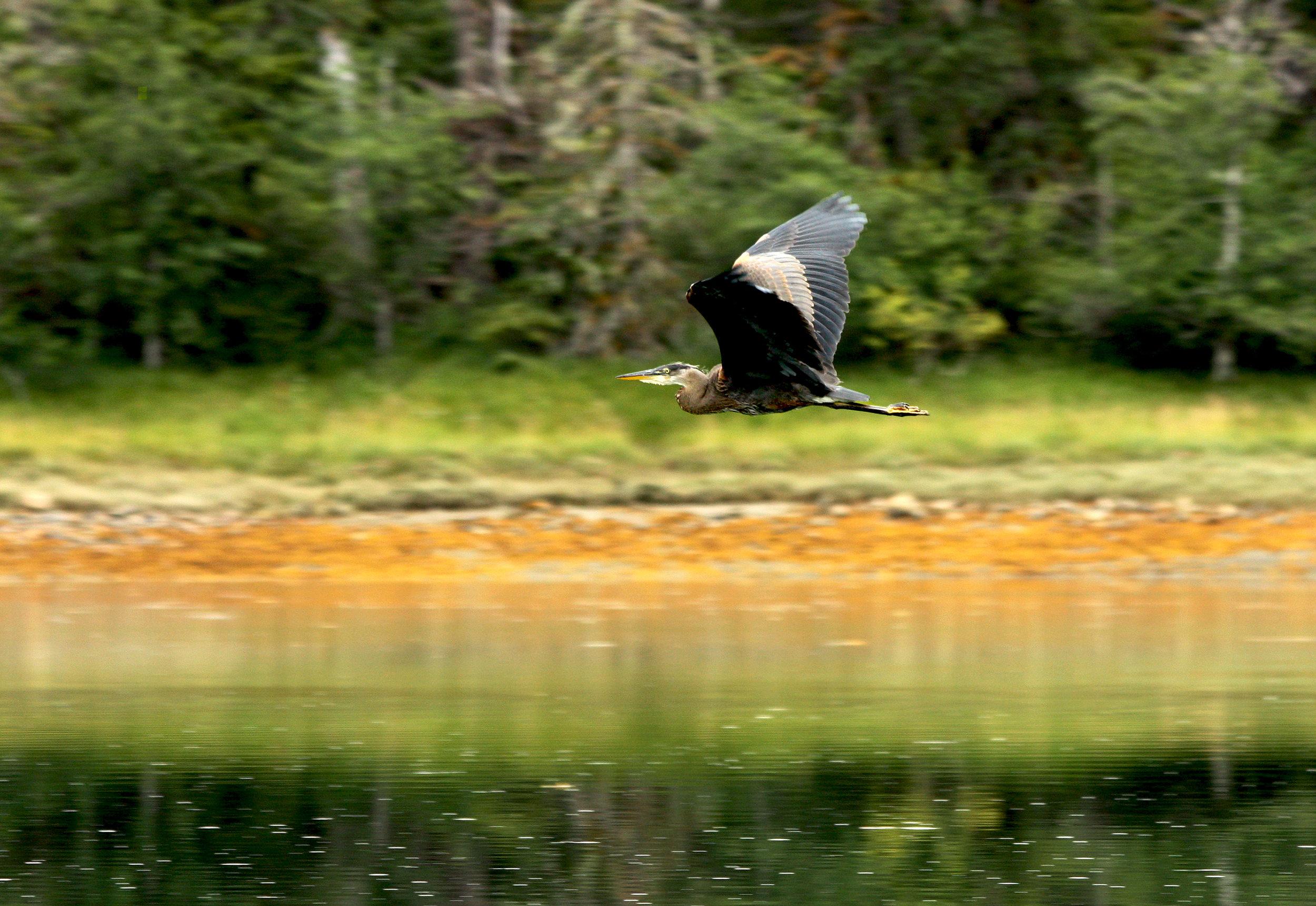 Heron's Flight.jpg