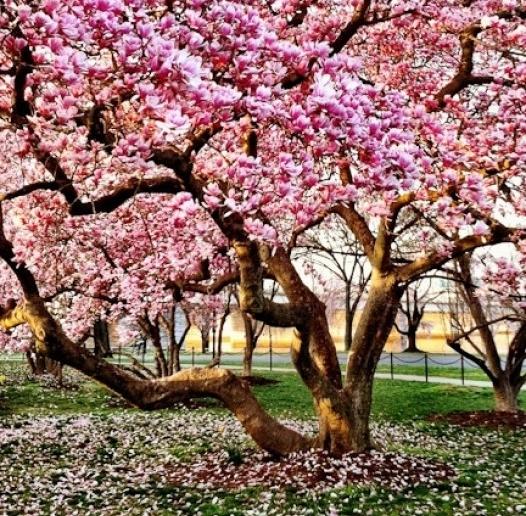 magnolia-tree-in-bloom-526x700.jpg
