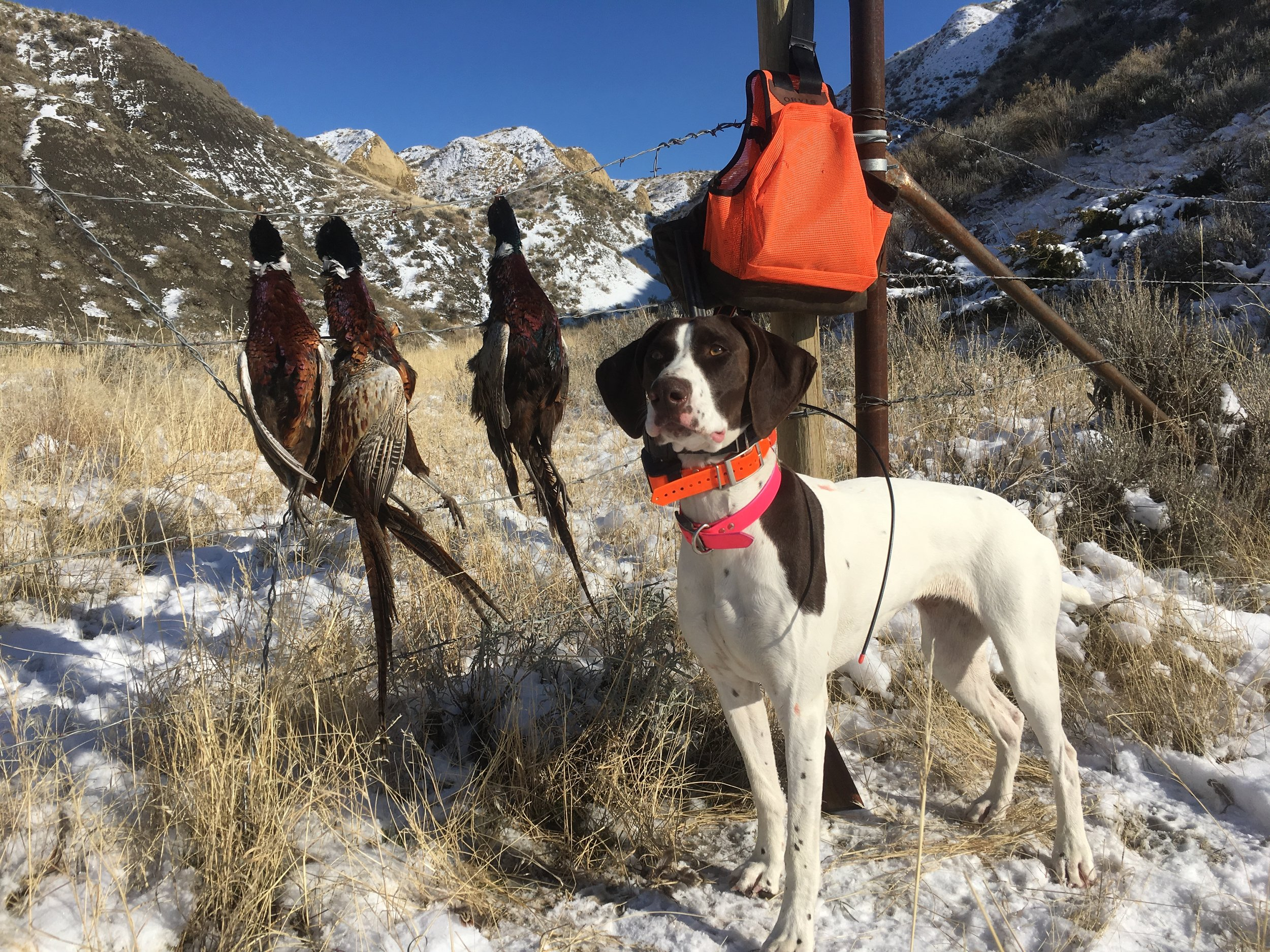 Millie with a limit of late season roosters.