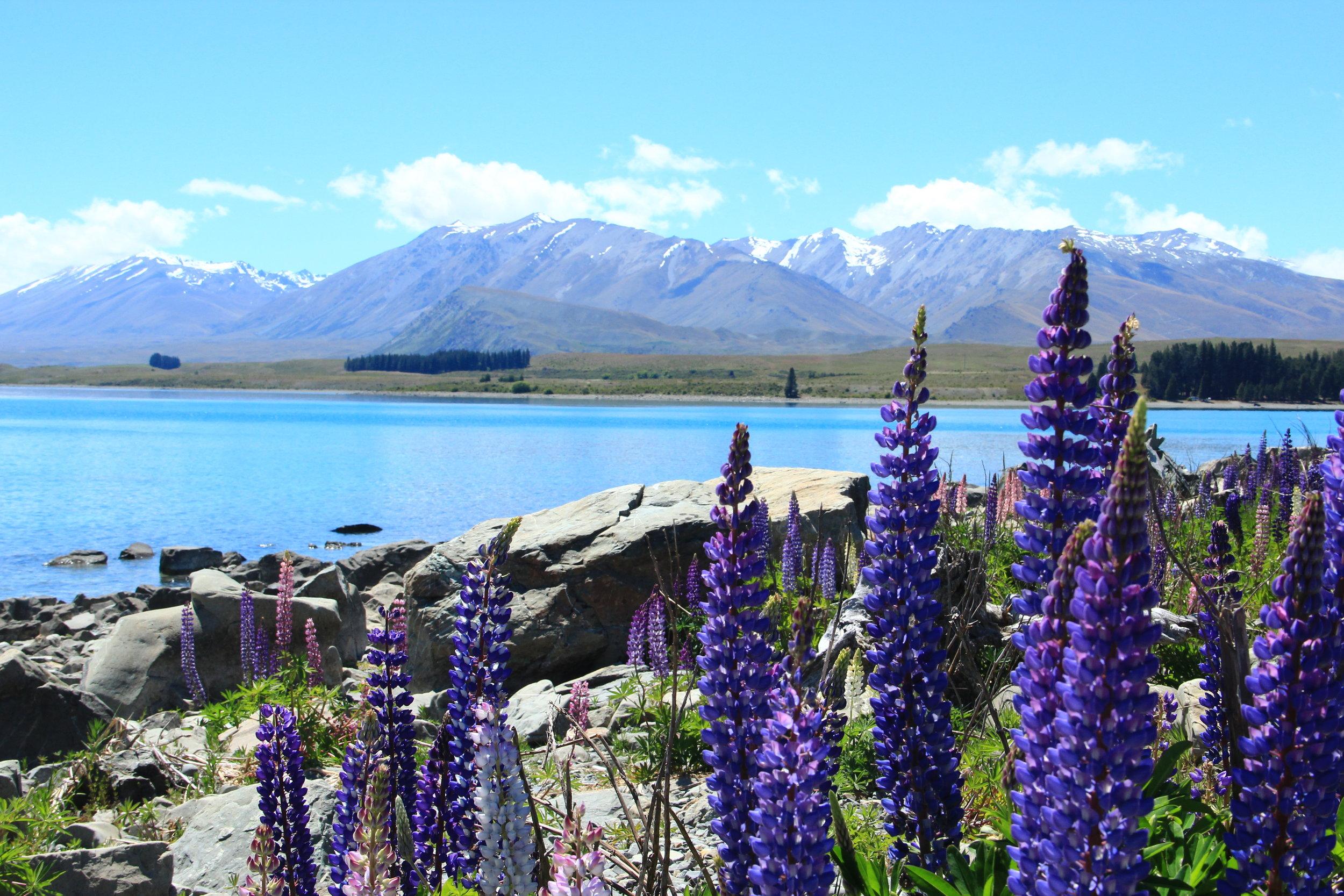 Beautiful lupins on the banks of Lake Tekapo, South Island, NZ.