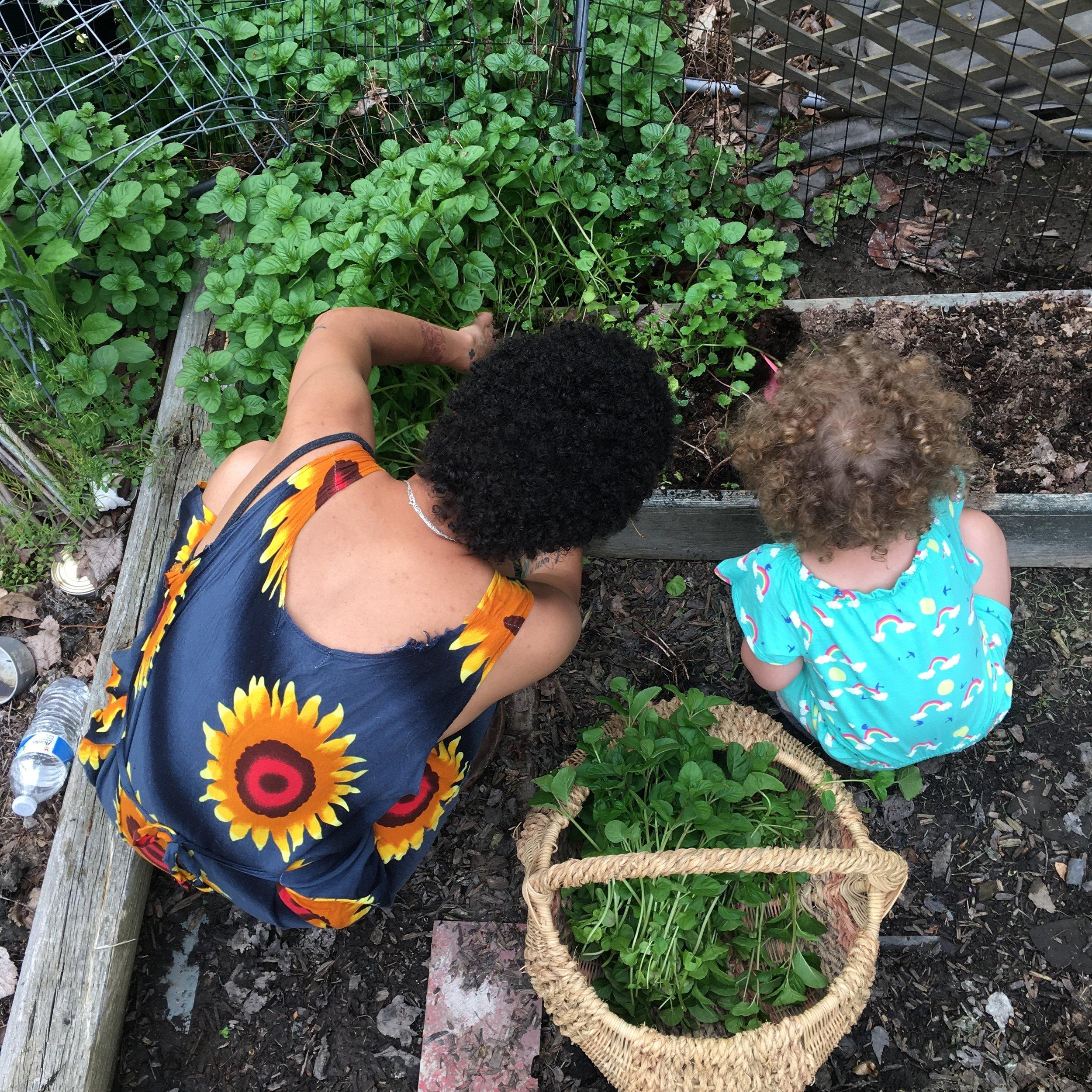 Weeding &Harvesting Chocolate Mint