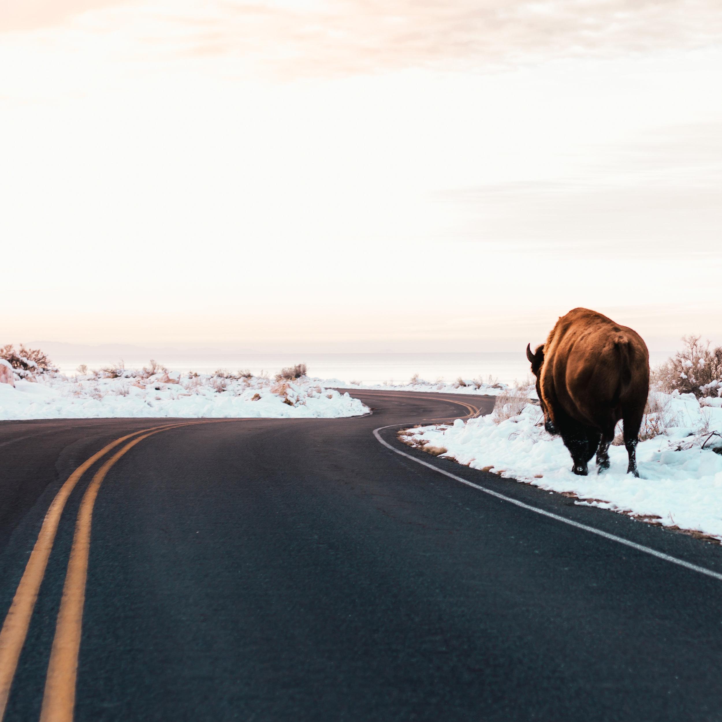 Utah Bison - Sasquatch The Bus