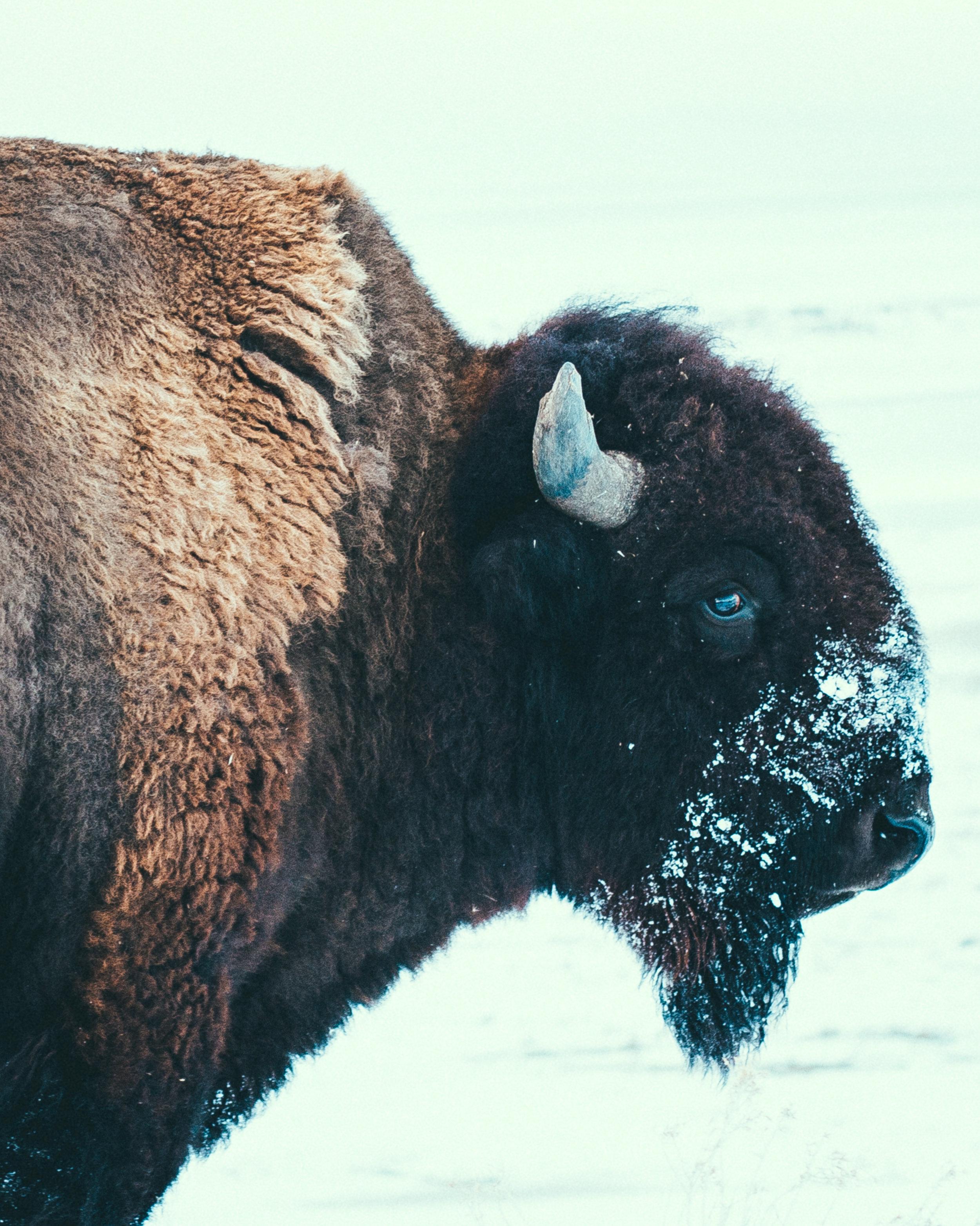 Bison - Sasquatch The Bus