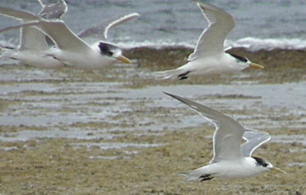 Port MacDonnell crested terns.jpg