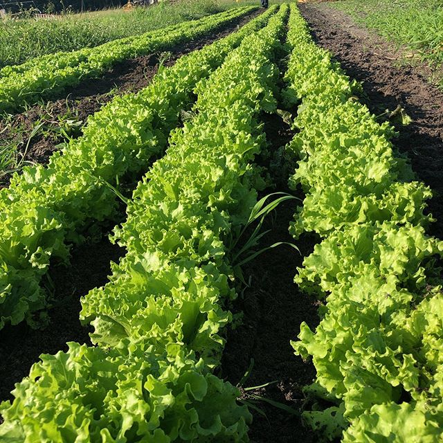 How df is the lettuce still bangin this late in the season?? #summer #miami #farm #lettuce #johnnyseeds #local #organic #eat #eating #eatlocal #grow
