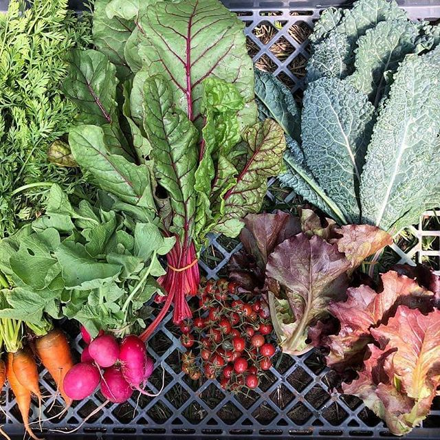 Throwback to our first full CSA season. The box pictured included carrots, radishes, lettuce, chard, kale, and cherry tomatoes. More where that came from this coming season--sign up today!  #tbt #throwback #farmlife #urbanfarm #urbanfarmer #urbanfarming #local #eatlocal #menwhofarm #womenwhofarm #organic #csa #community #organicfoods #groworganic #sustainability #sustainableliving #sustainablelivingguide #organicallygrown #miami #miamidade