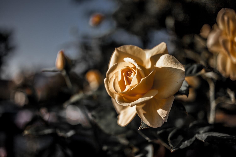 Yellow_Rose-1.jpg
