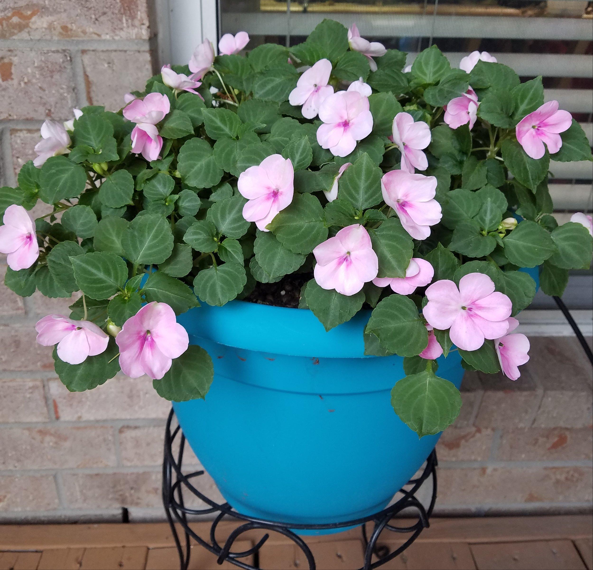 Mama Yardful's impatiens all pretty in pink!