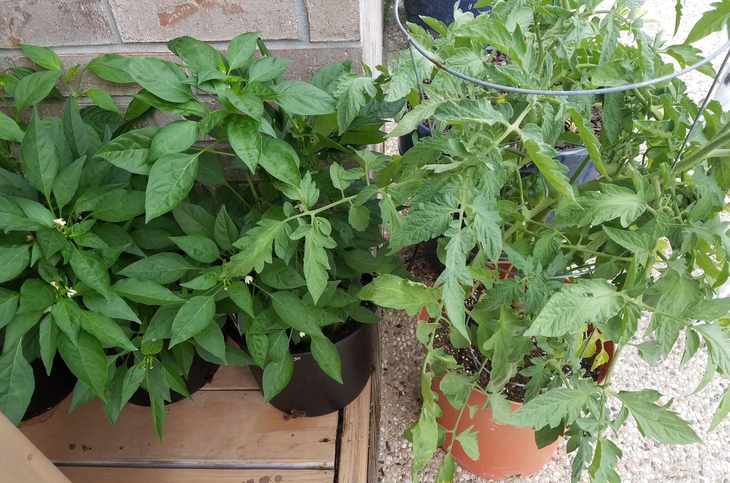 Some of Mama Yardful's containers - two thai chili peppers on the left and a tomato on the right