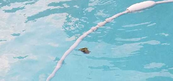 This tutle decided to cool off in the pool and made friends with the pool cleaner