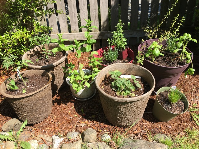 Cassy's container garden in early May last year