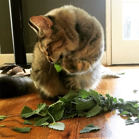One of Cassy's cats enjoying a harvest of catnip leaves