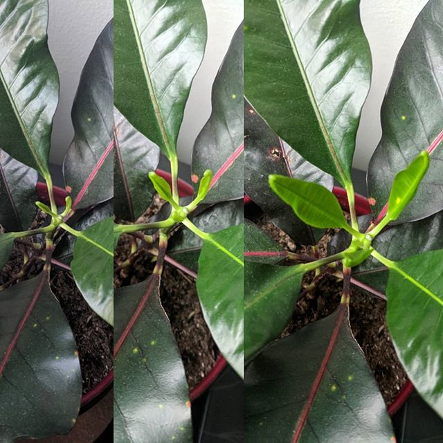 New leaves on this gorgeous #croton! Spring is in the air!  yardlessinseattle.com  #plantmom #plant #plants #urbangarden #crazyplantlady #plantsofinstagram #planstagram #plantlife #greenthumb #greenbabies #growsomethinggreen #pnw #pnwliving #green #foliage #instagreen #plantlover #plantsmakepeoplehappy #indoorplants #houseplants #flora #ihavethisthingwithplants #growwhatyoulove