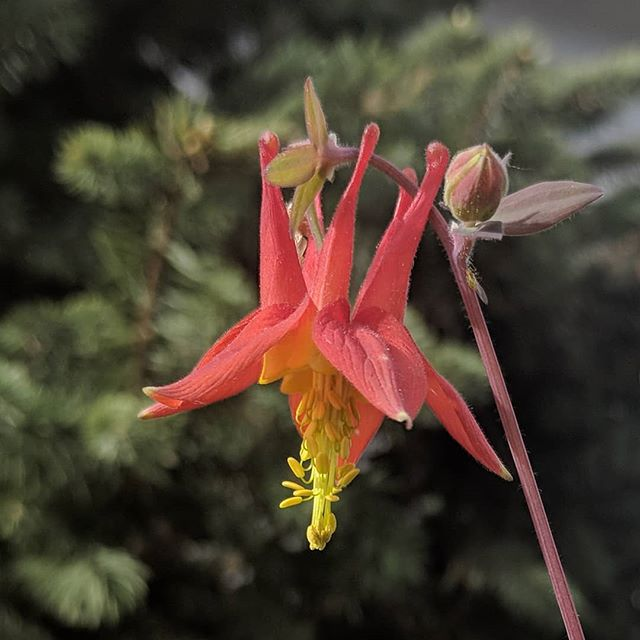 My native red columbine bloomed! Was I late to work because I took this picture? Maybe... yardlessinseattle.com  #redcolumbine #plant #plants #crazyplantlady #plantsofinstagram #planstagram #plantlife #greenthumb #garden #gardening #growsomethinggreen #growsomething #thehappygardeninglife #instagarden #gardeningisfun #pnw #mygarden #gardener #flowerstalking #instaflowers #pnwliving #flowers #plantlover #plantsmakepeoplehappy #flora #ihavethisthingwithplants #outside