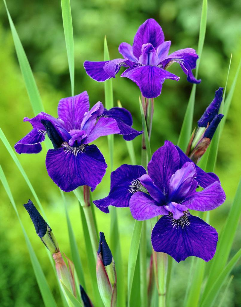 Iris-sibirica-Caesars-Brother_32745_1280_1280.jpg