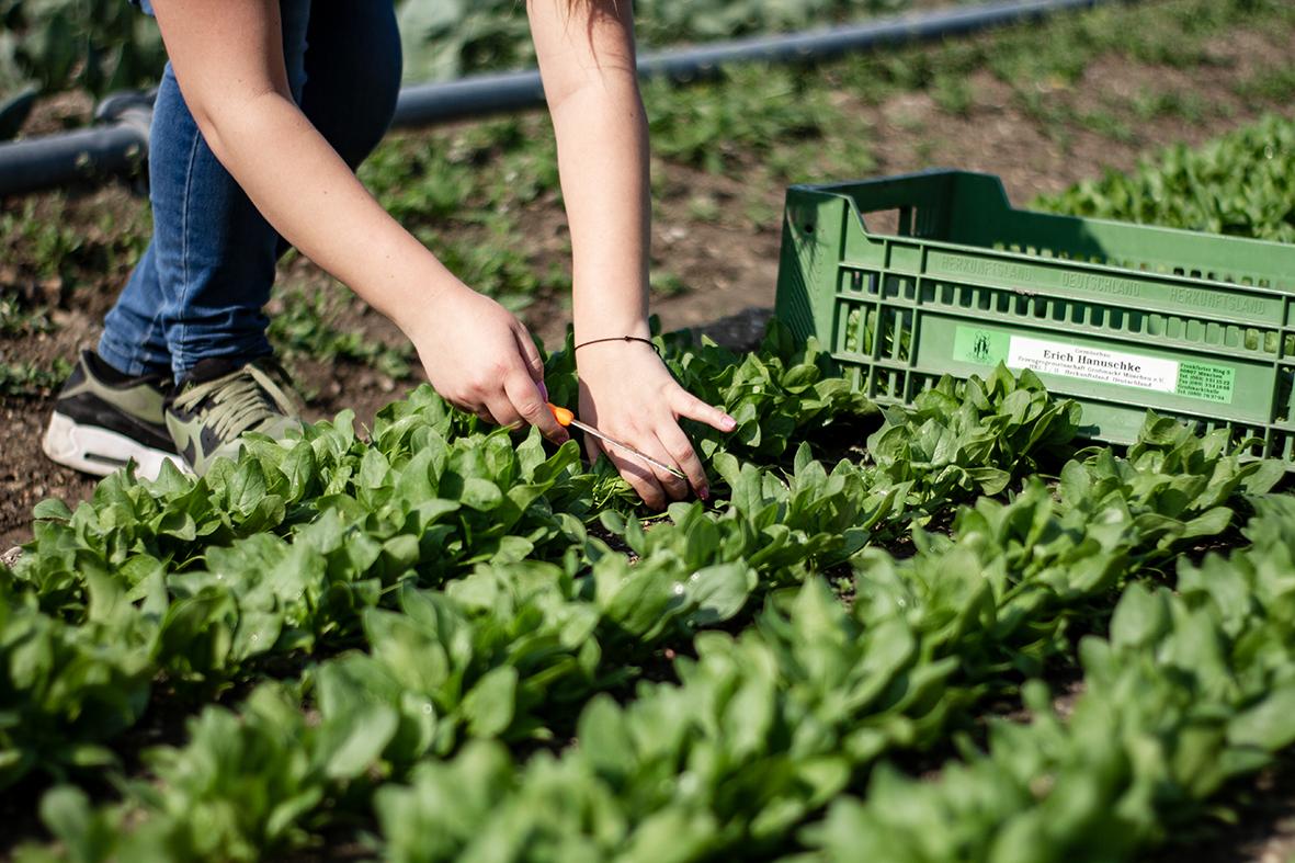 Der Spinat wird in Kisten abgepackt und gelangt so vom Bauern zur Produktion.