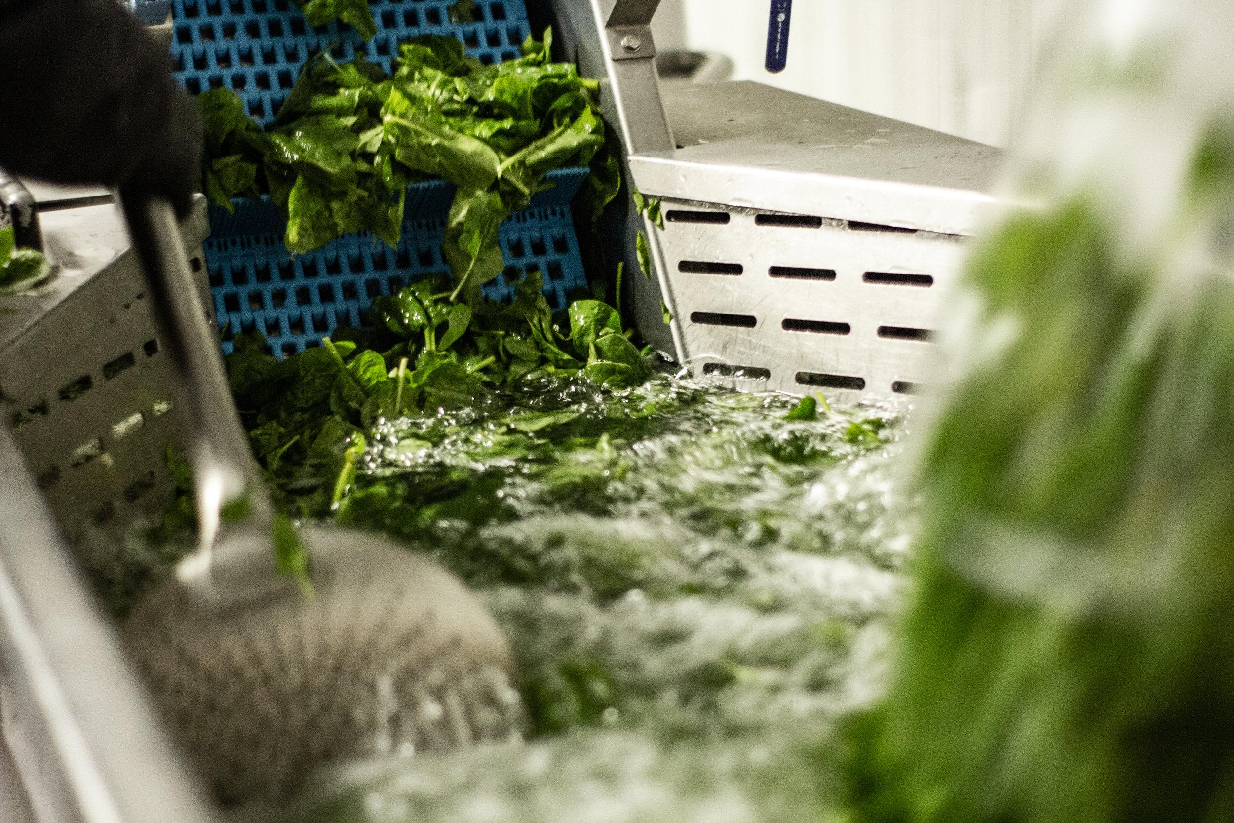 Nach dem Waschen wird der Spinat über ein Band zu einer Mühle transportiert.