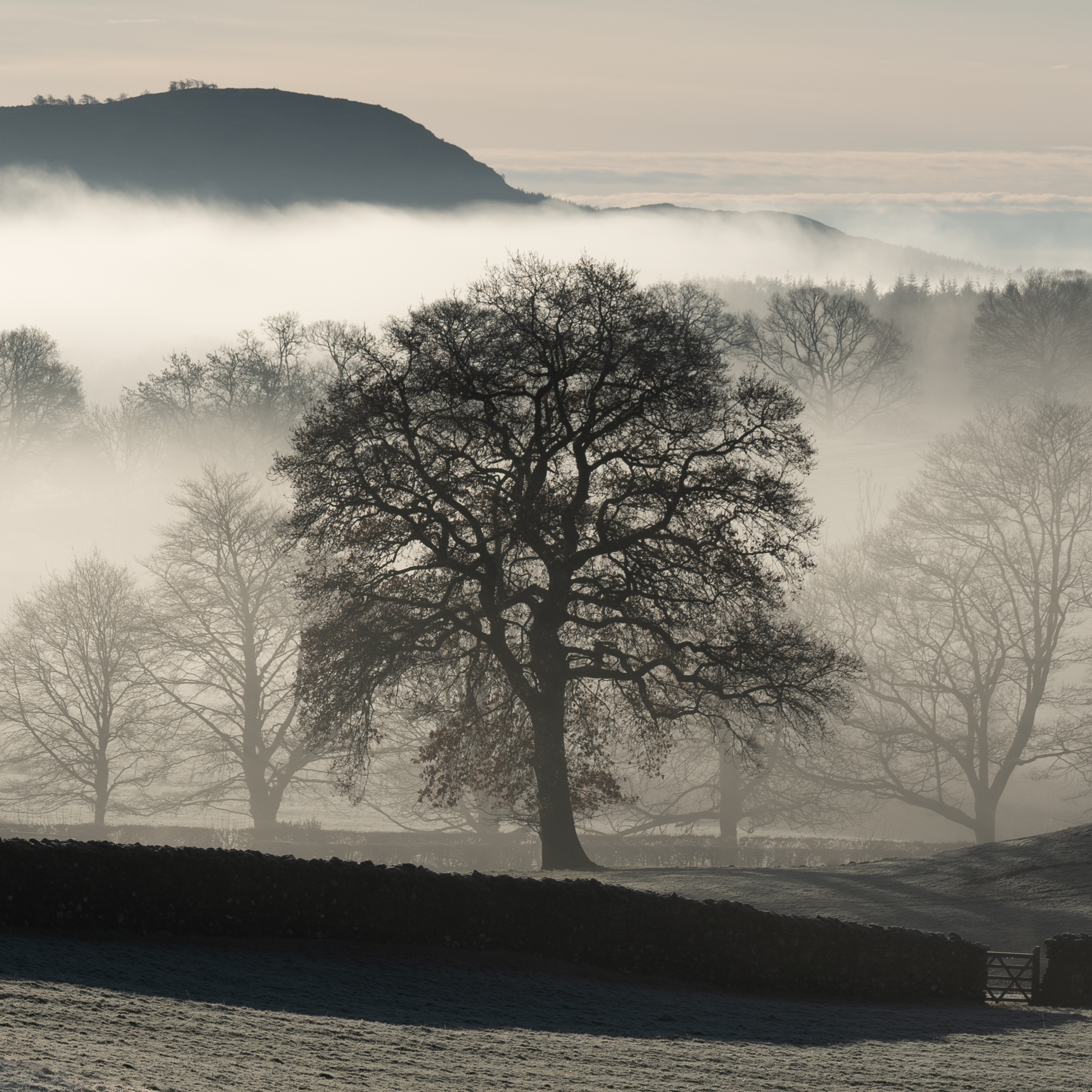 Tree separated from the mist, Far Sawrey, Christmas Eve 2018