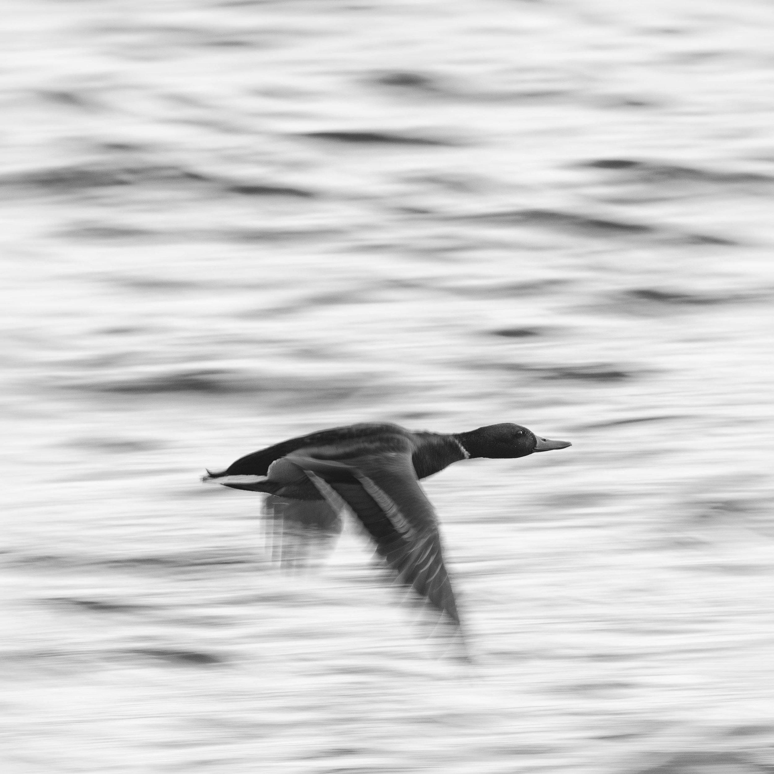 Mallard in fast flight