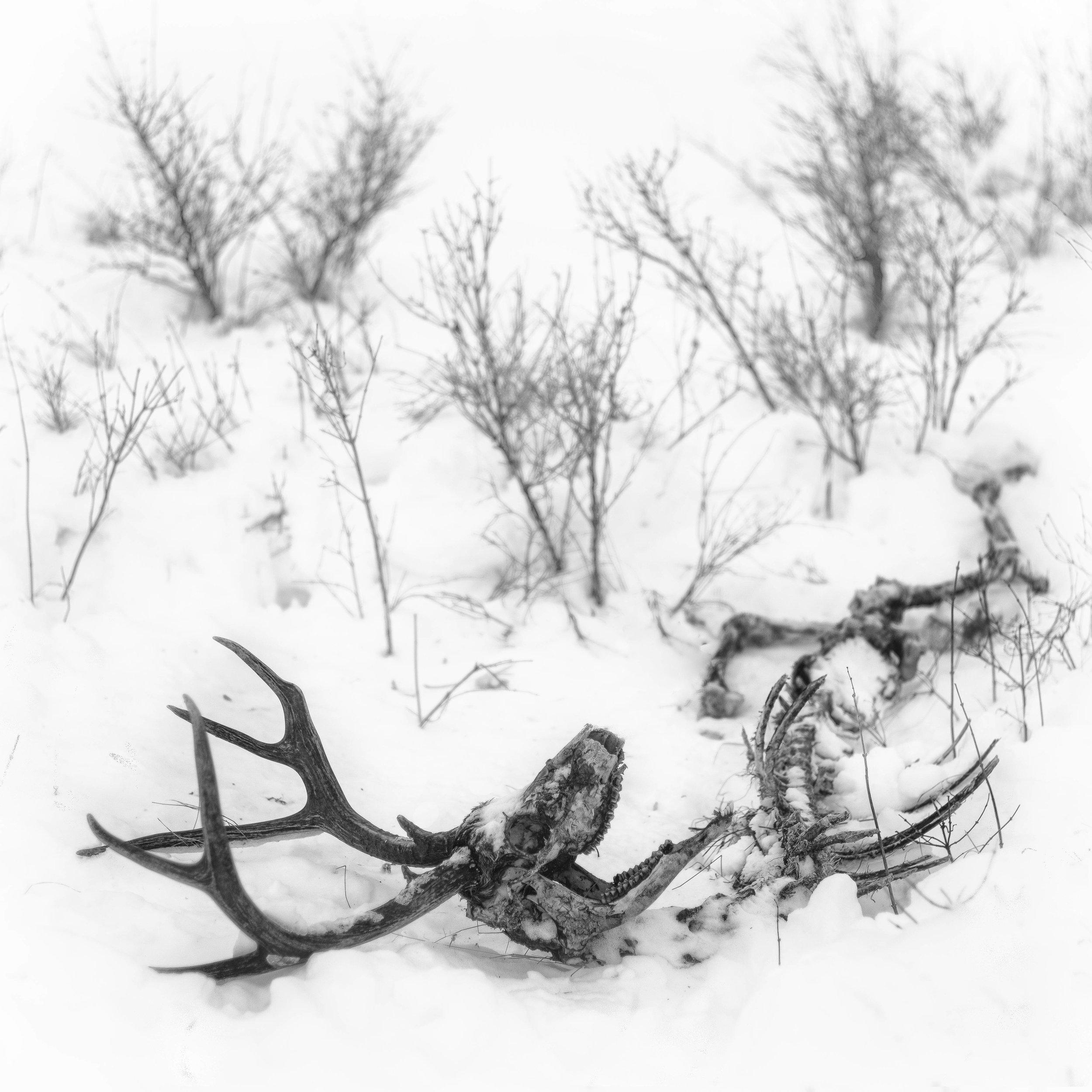 Winter-killed Mule Deer Buck