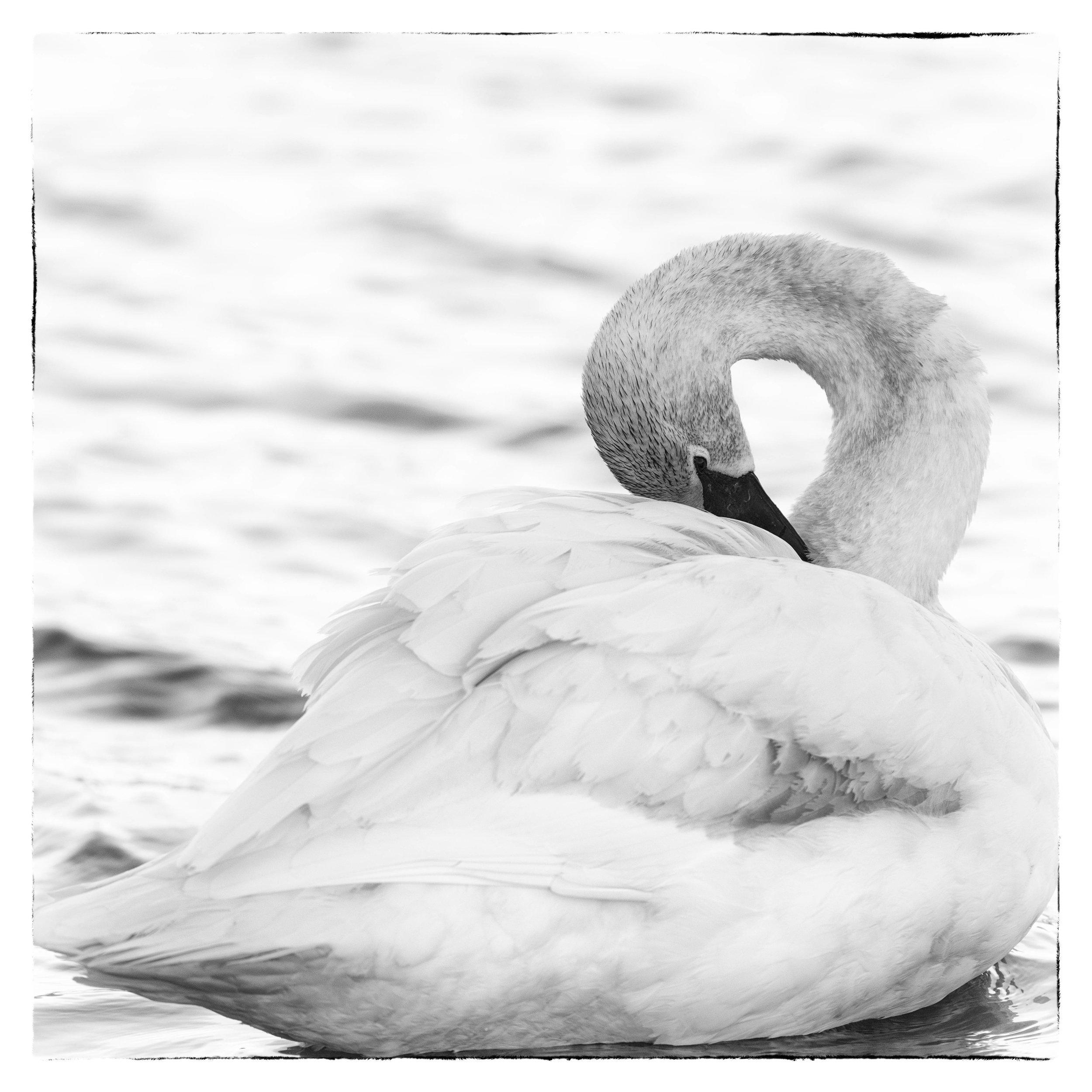 Preening Trumpeter Swan