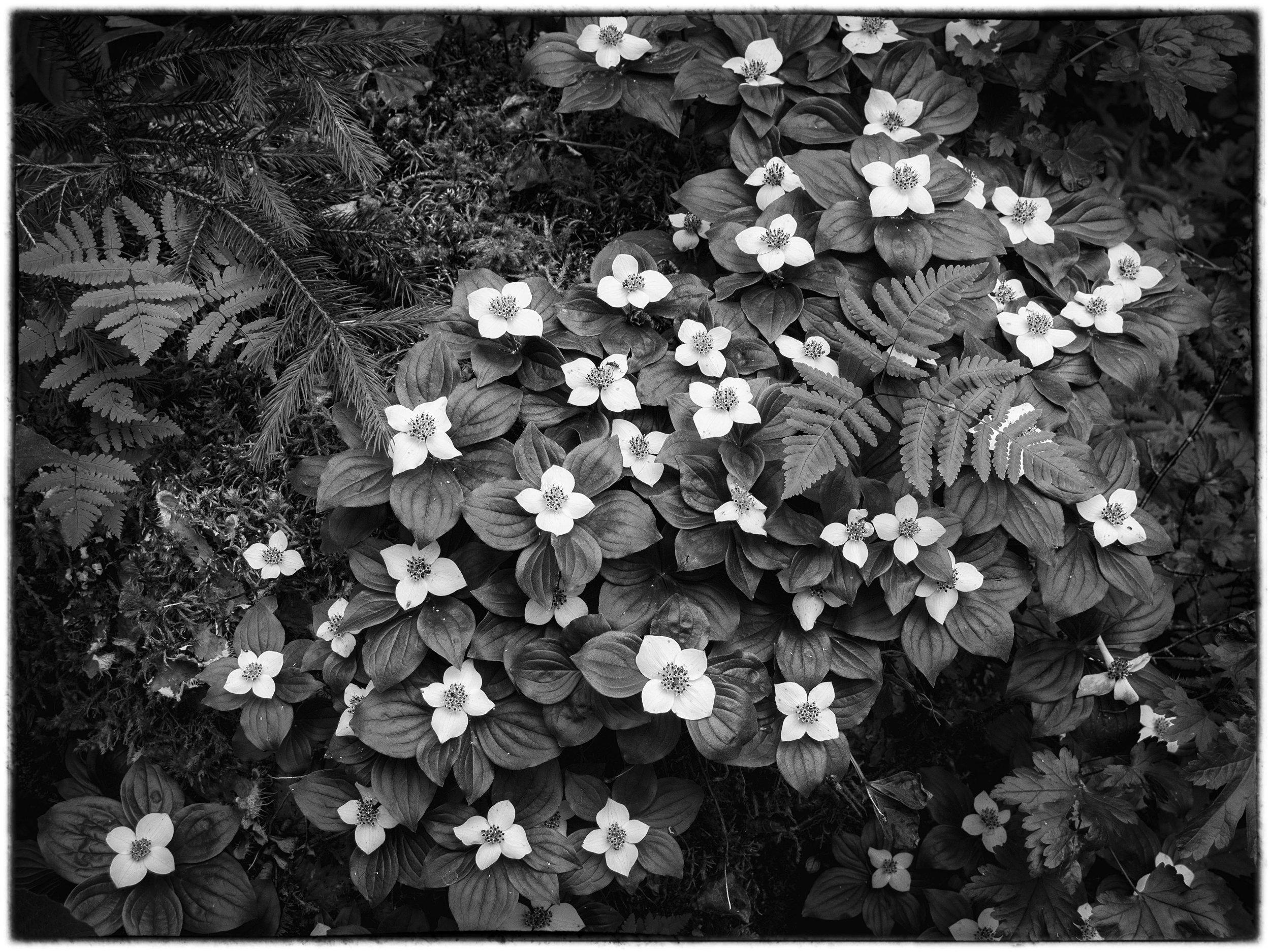 Bunchberry, Wells Grey provincial park