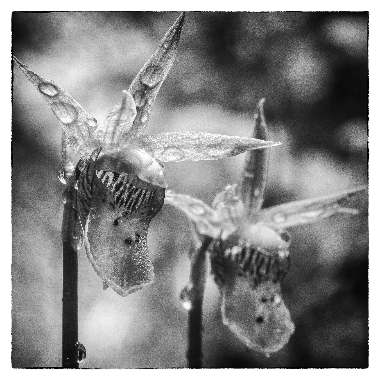 Fairyslippers