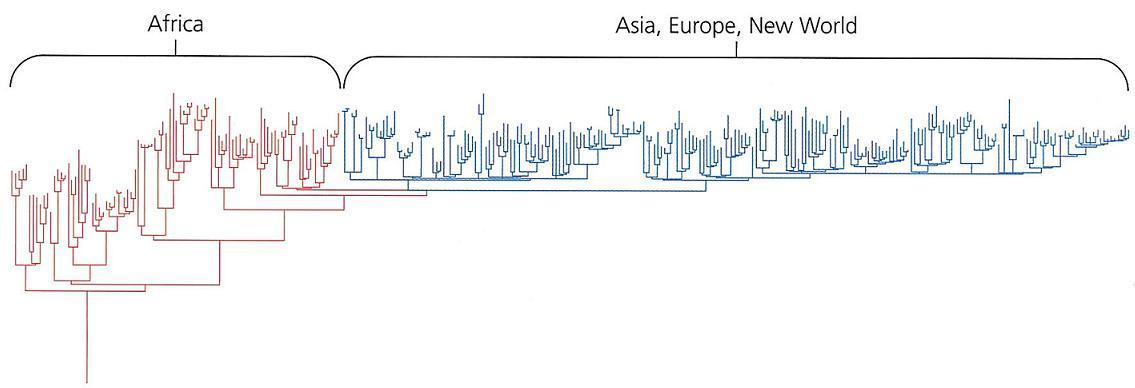 Stamboom van de mensheid verkregen door DNA-verwantschapsonderzoek. De Khoisanvolken zitten op de hoofdtak links. ( Bron , bewerking van  Bron )