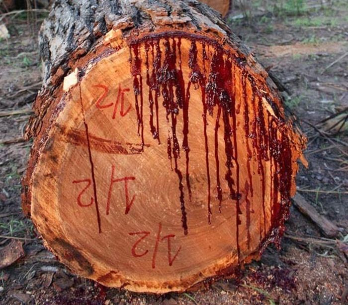 bloodwood-tree-pictures-001.jpg