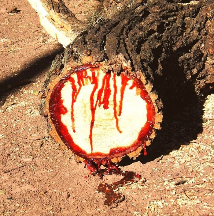 bloodwood-tree-pictures-002.jpg