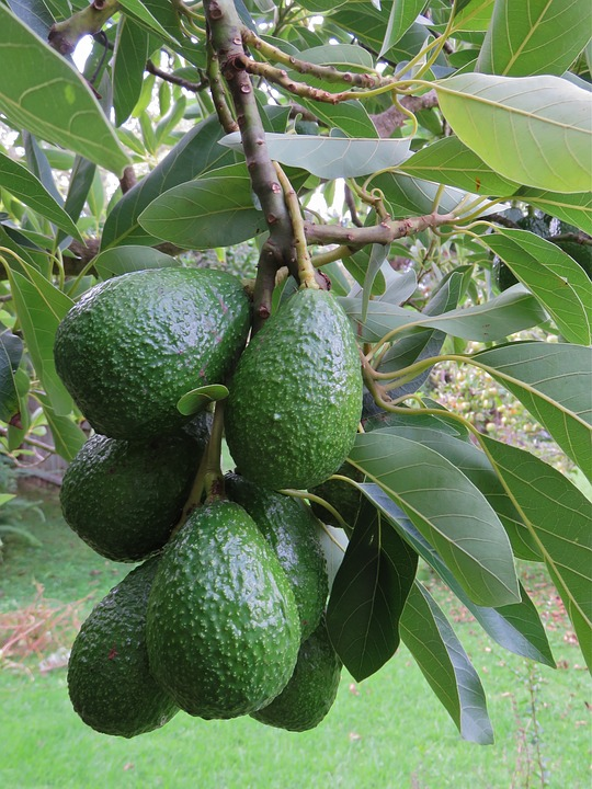 DID YOU KNOW?   - As the fruit ripens the saturated fat content decreases and the mono- unsaturated oleic acid increases (20) Xanthophyll levels of up to 1100ug/half fruit have been found in avocados at time of harvest (19).