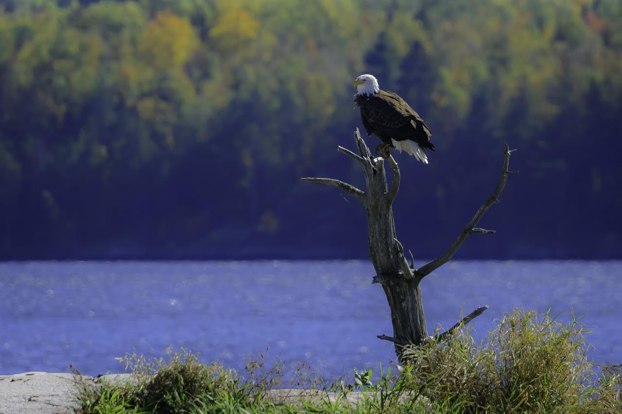 - An eagle print from Scott Bemman of Scott and Di Photography