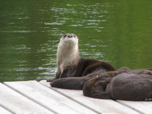 otters.png