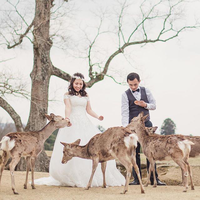 Hello deer! In Nara, Japan, deer were considered sacred, so now they are everywhere! Tag someone who would love this! 🦌  #nara #narapark #japan #wedding #weddingphotographer #stylemepretty #theknotfashion #bridesrealweddings #marthaweddings #weddingwire #weddingchicks #LSxGWS #GWSxMumu #brides_style#destinationweddingphotographer