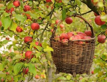 apple_harvest.jpg