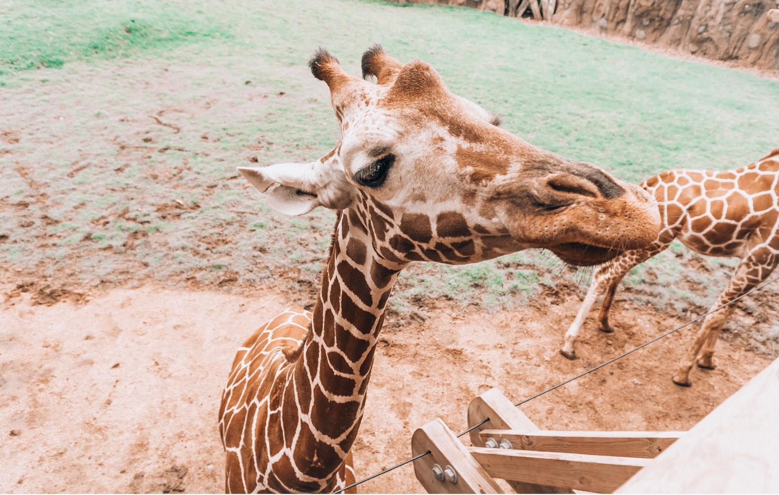 fort worth zoo giraffe.png