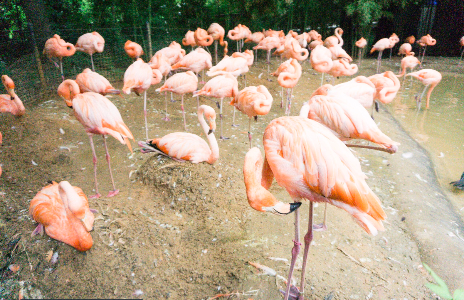 fort worth zoo flamingos.png