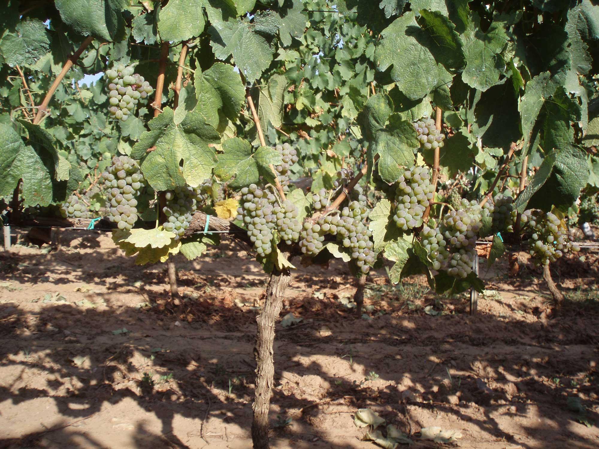 Vino-Benaza-Godello-2.jpg