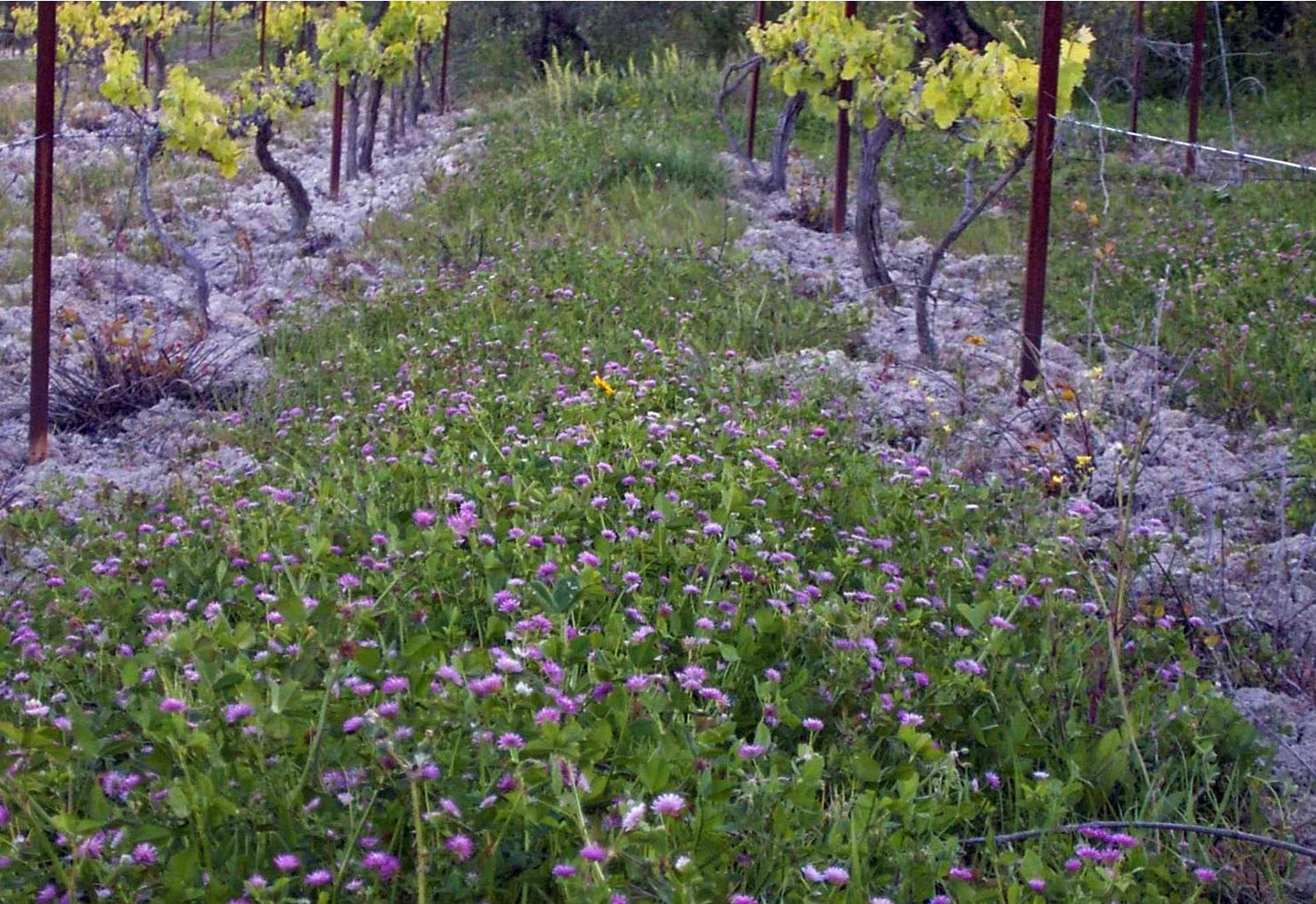 Bodegas+Robles+vineyard+groundcover.jpg